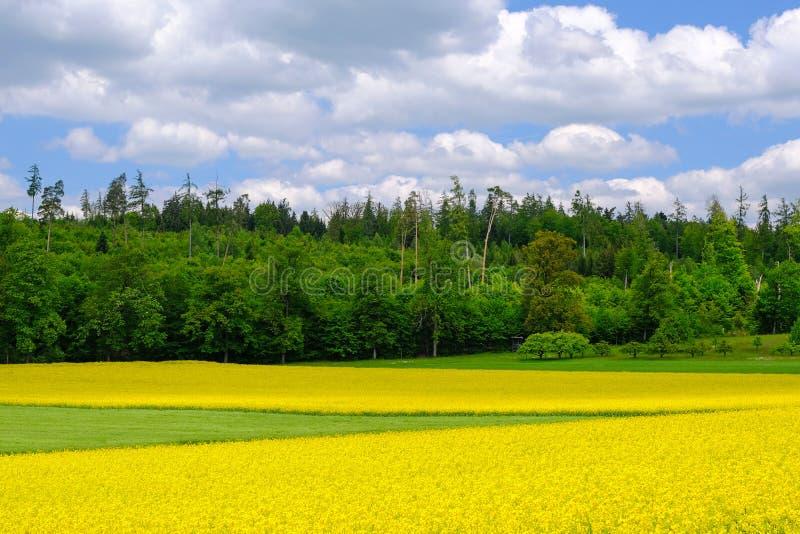 Gouden gebied van bloeiend geel raapzaad, Brassica Napus, met mooie wolken op hemel Hausen AG, Zwitserland, Europa stock foto's