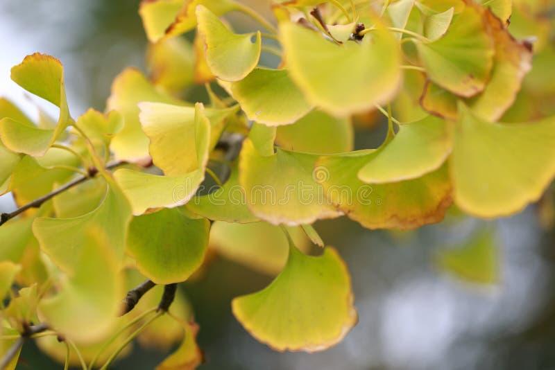 Gouden geel Ginkgo-blad stock fotografie