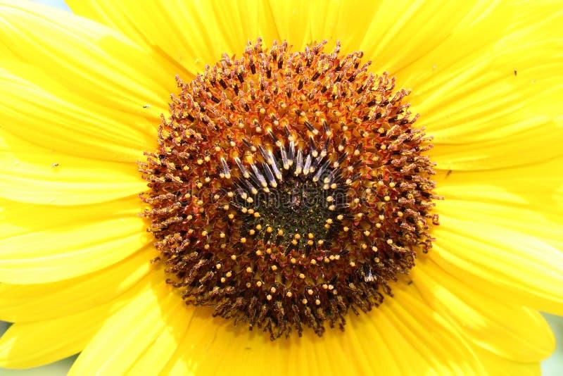 Gouden geel zonnebloem macroportret royalty-vrije stock afbeelding