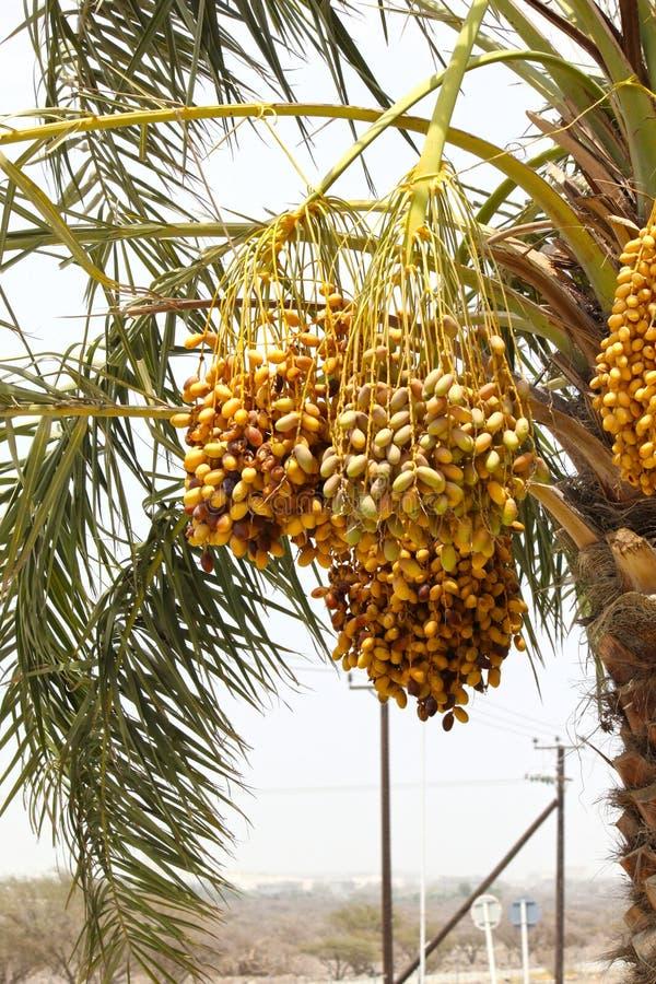 Gouden gele data die en van Dadelpalm IN DUABI, de V.A.E op 26 JUNI 2017 groeien hangen stock afbeelding