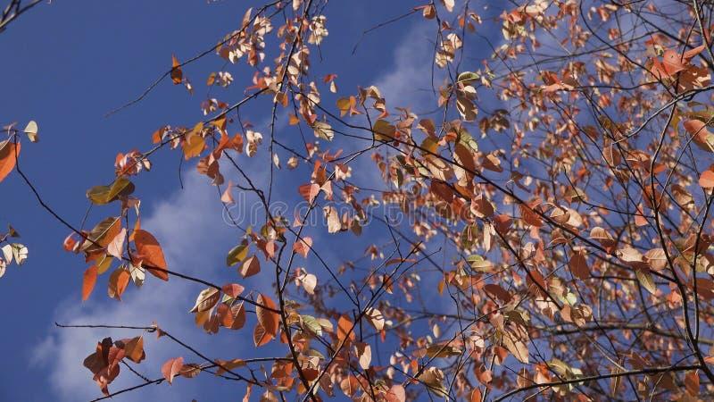 Gouden, gele, en oranje bladeren die in de wind over de blauwe, bewolkte hemel, de herfstachtergrond blazen Vernietigende bladere stock fotografie
