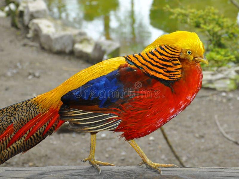 Gouden, gele fazant die op logboek, profiel lopen