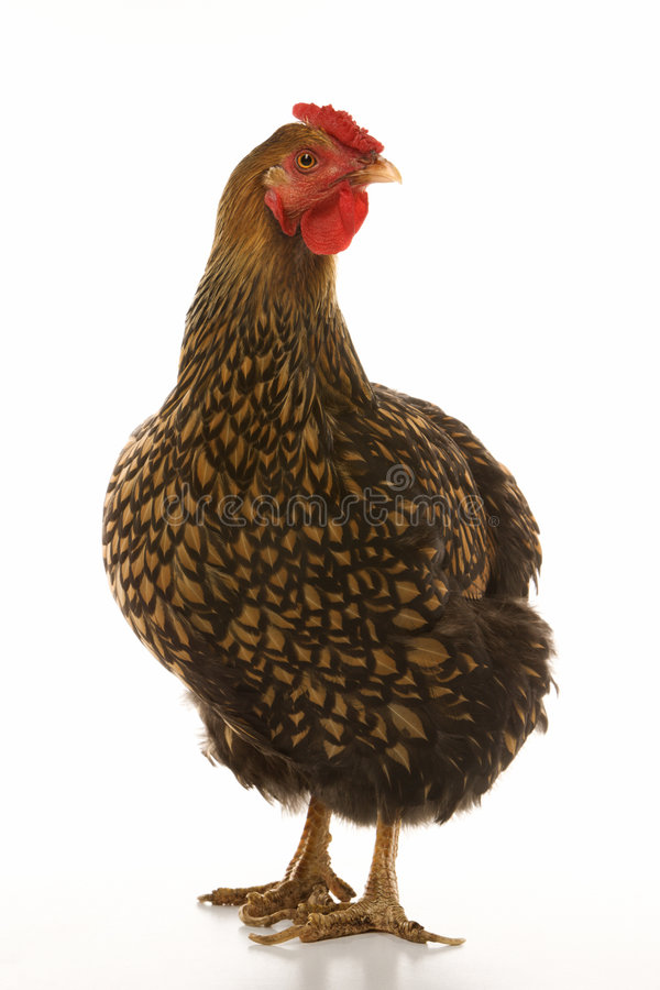 Gouden Geregen kip Wyandotte. royalty-vrije stock foto's