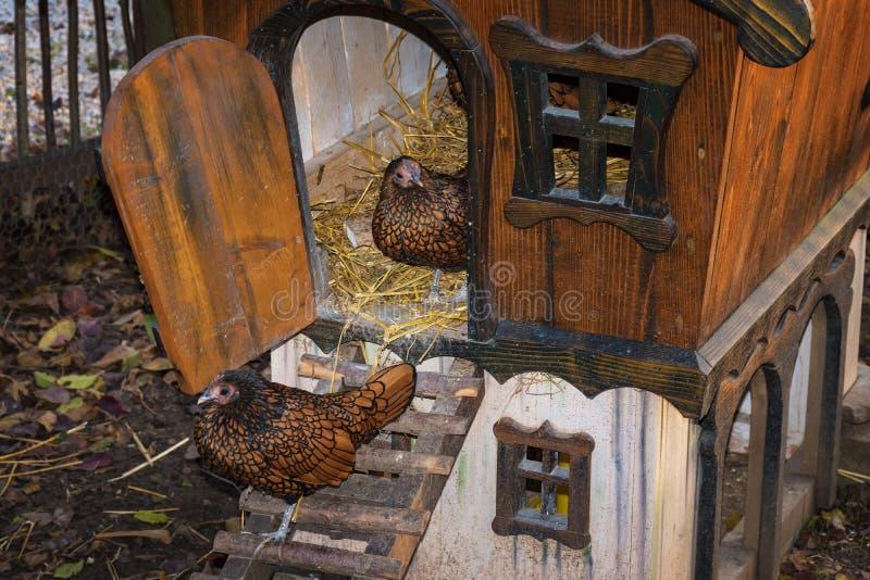 Gouden Geregen Wyandotte-kippen die van kippenhuis opstappen royalty-vrije stock fotografie
