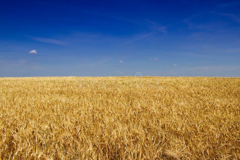 Gouden gerstgebied vóór oogst in de hete zomer royalty-vrije stock afbeeldingen