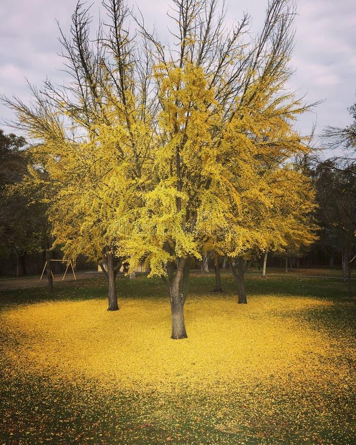 Gouden Ginkgo-Tapijt stock afbeeldingen