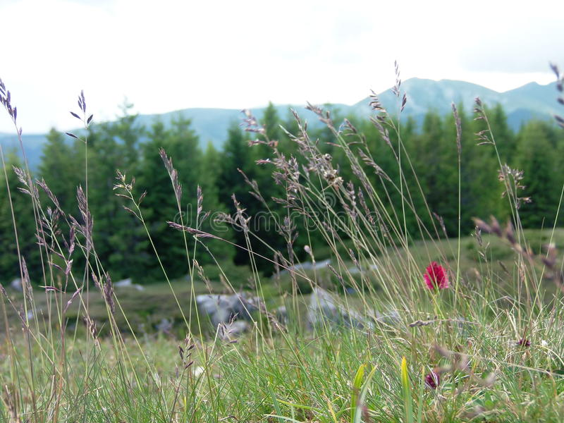 Gouden Graangewassenstro en een roze zeldzame bloem royalty-vrije stock afbeelding
