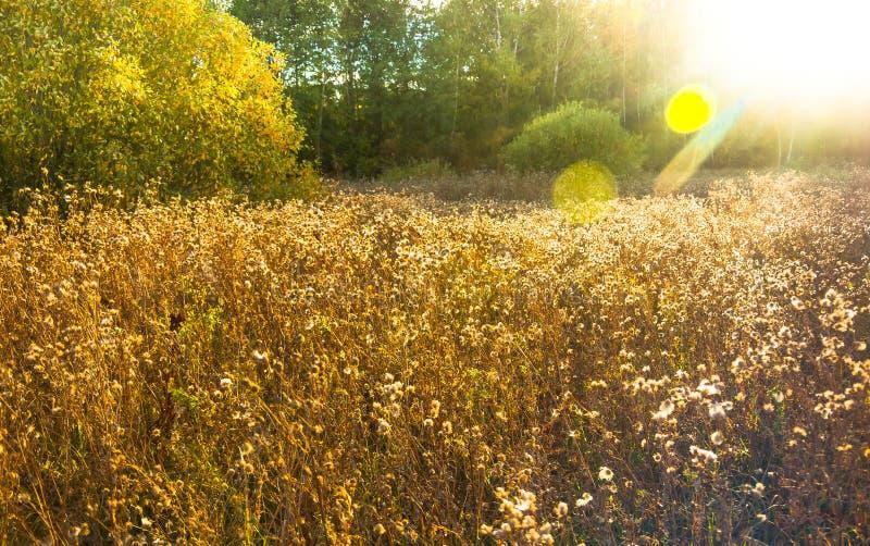 Gouden grasgebied bij zonsondergang royalty-vrije stock foto