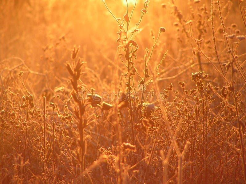 Gouden grassen bij zonsopgang stock afbeelding
