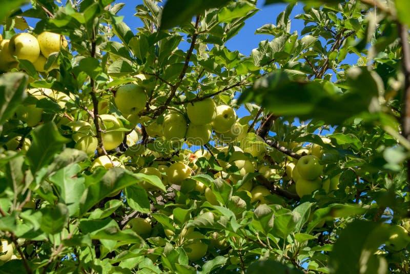 Gouden - heerlijke appelen in een boom royalty-vrije stock fotografie