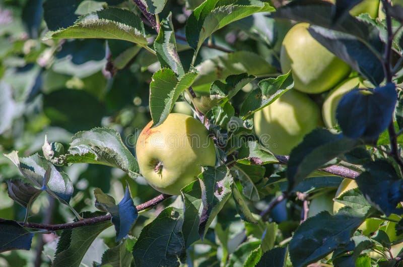 Gouden - heerlijke appelen in een boomgaard in Michigan royalty-vrije stock foto