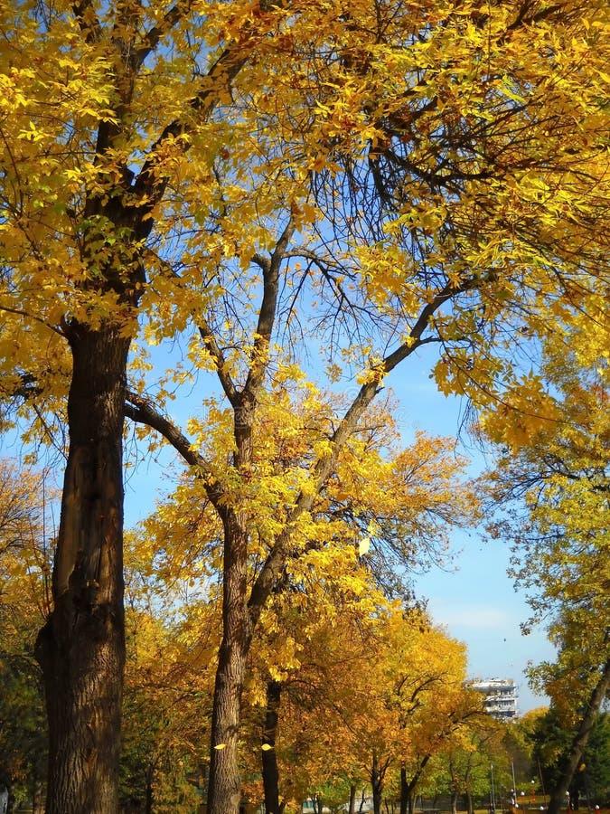 Gouden herfstbladeren die in lokaal park verscheuren stock foto