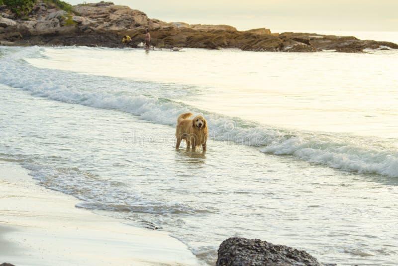 Gouden hond die op het strand bij zonsondergang lopen royalty-vrije stock fotografie
