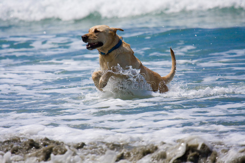 Gouden Hond en Oceaan royalty-vrije stock afbeelding