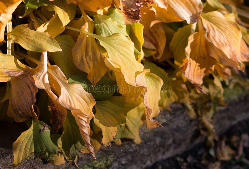 Gouden hostagebladerte in de herfst in park stock afbeeldingen