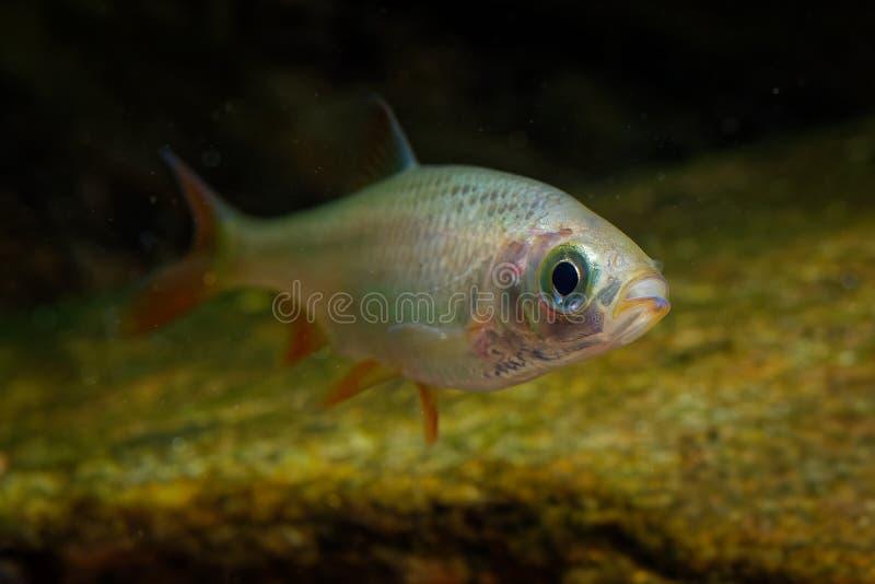 Gouden idus zoetwaterdievissen van Orfe - Leuciscus-van familiecyprinidae in grotere rivieren, vijvers, en meren over de noordeli stock foto's