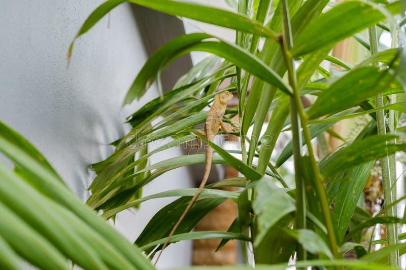 Gouden kameleon op takboom royalty-vrije stock foto's
