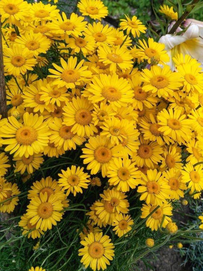 Gouden Kamille stock afbeeldingen