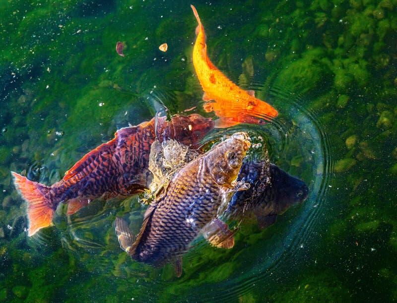 Gouden karpers Inwoners van rivieren stock foto's