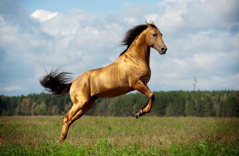 Gouden kastanjepaard in actie royalty-vrije stock foto's