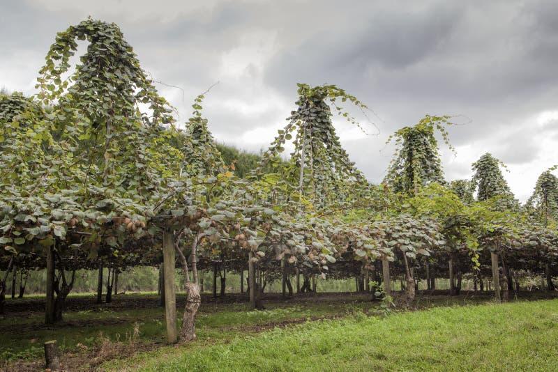 Gouden Kiwi Plantage in Nieuw Zeeland royalty-vrije stock fotografie