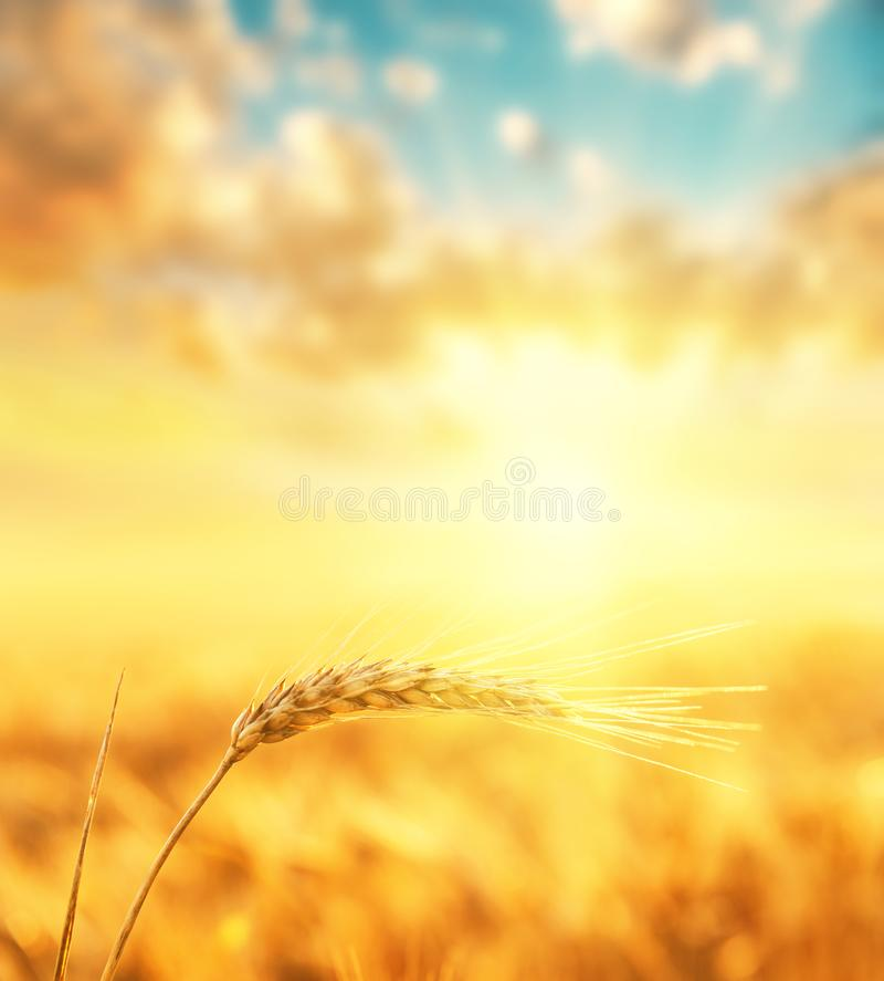 Gouden kleurenoogst op gebied en oranje zonsondergang in wolken stock foto