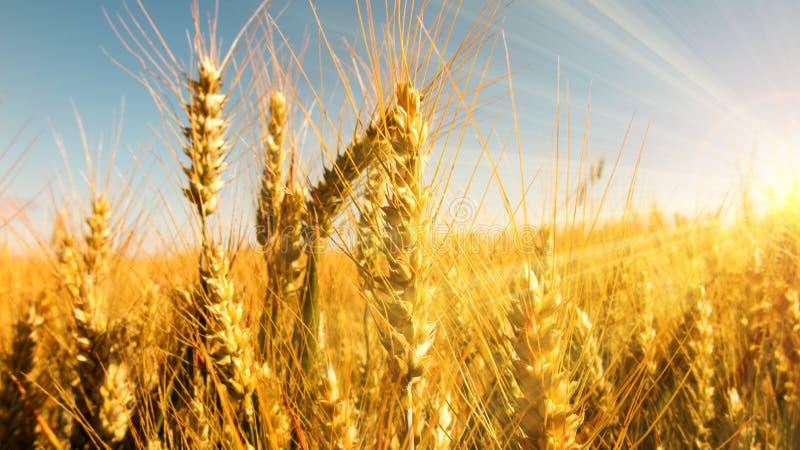 Gouden korreloren in heldere zonnestralen stock fotografie
