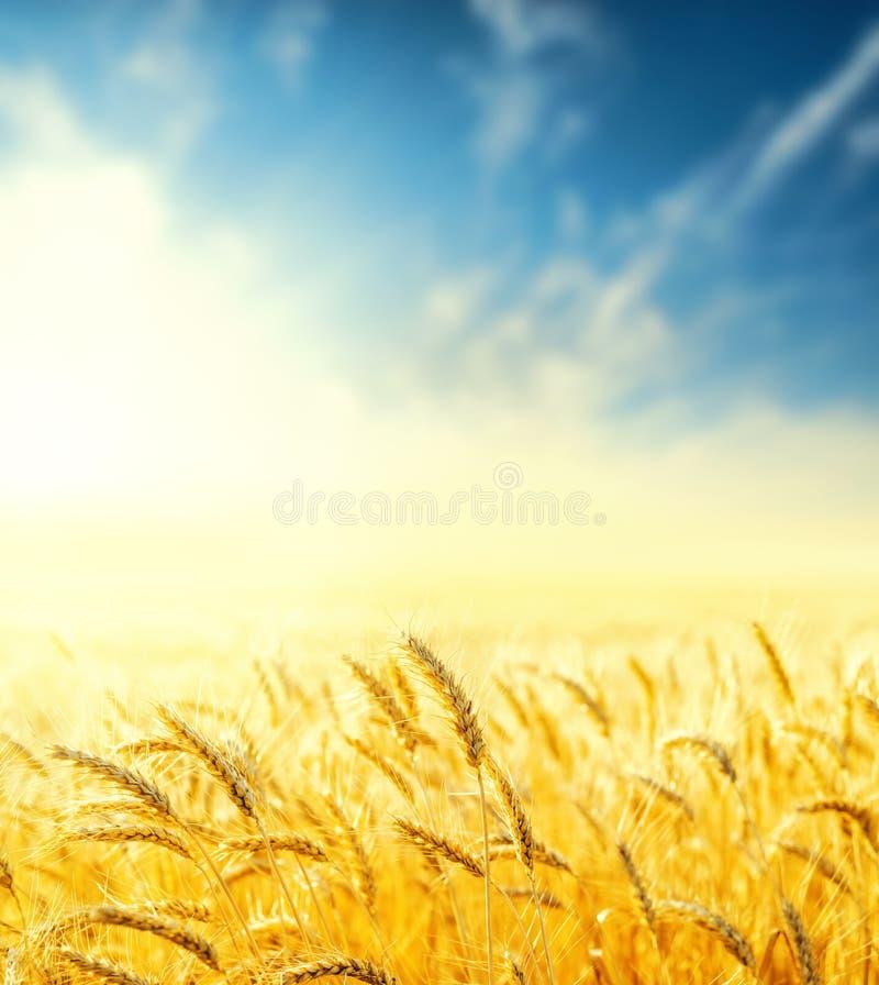 gouden landbouwgebied in zonsondergang en blauwe hemel met wolken Zachte nadruk royalty-vrije stock fotografie