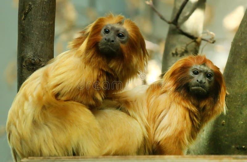 Gouden Leeuw Tamarin stock afbeeldingen