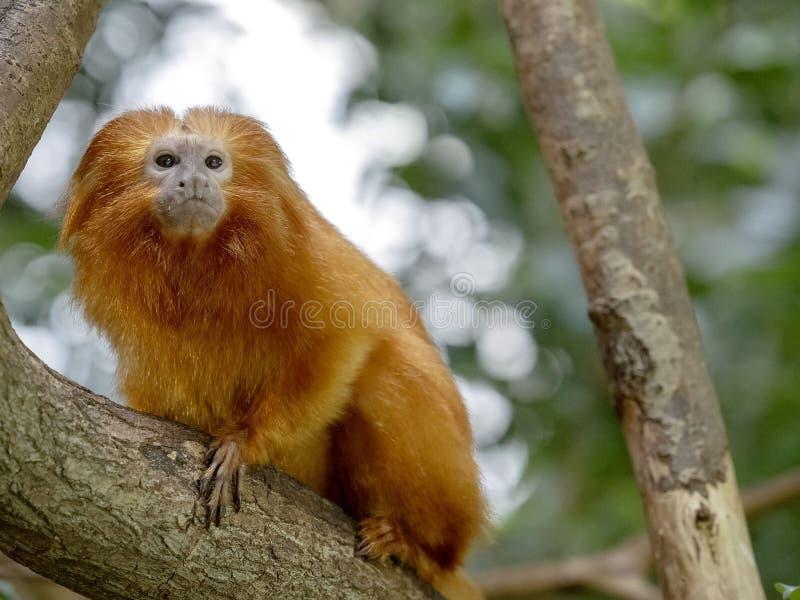 Gouden leeuwtamarin, Leontopithecus-rosalia, is zeer zeldzaam van aard stock fotografie