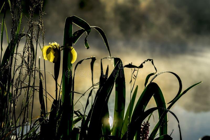Gouden licht van vroege ochtend van Wilde bloem van mooi geel lis De zomervijver, dageraad, eerste stralen van zon seizoenen stock foto