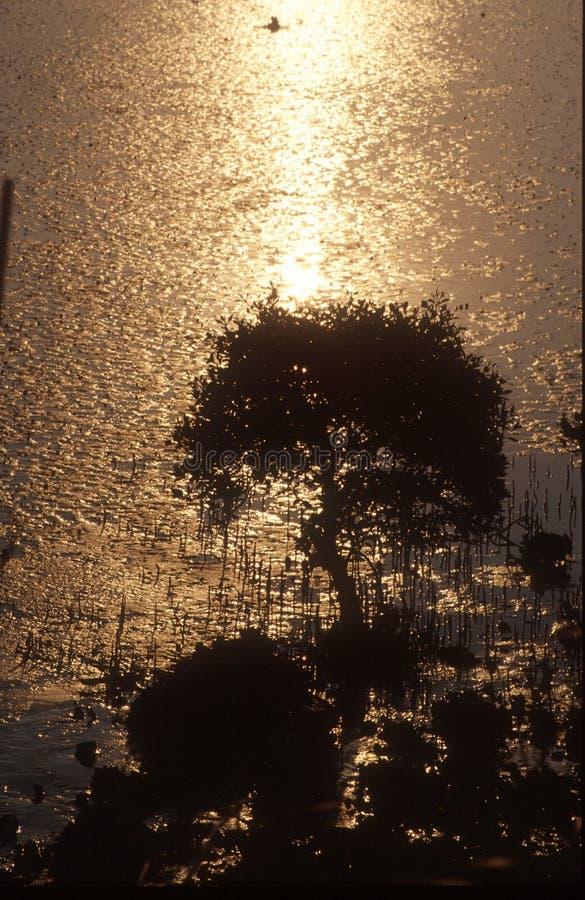 Gouden mangrove royalty-vrije stock foto