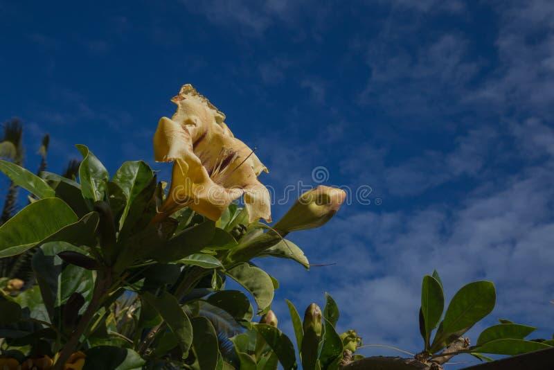 Gouden miskelkwijnstok - Solandra-maxima - bloemen stock foto's