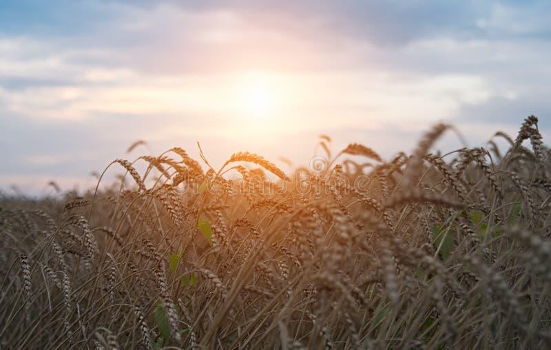 Gouden oogst stock foto's