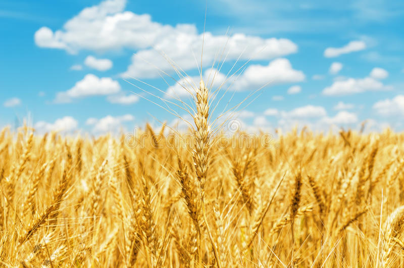 Gouden oogst en wolken in blauwe hemel stock afbeelding