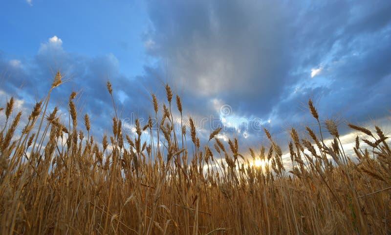 Gouden oogst onder blauwe bewolkte hemel op zonsondergang stock afbeeldingen