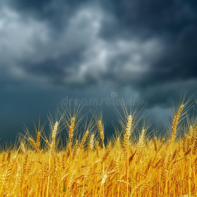Gouden oogst onder donkere lage wolken royalty-vrije stock afbeelding