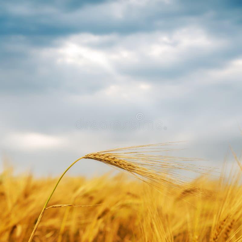 Gouden oogst op gebied onder dramatische hemel royalty-vrije stock afbeelding