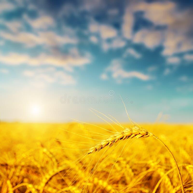 Gouden oogst op zonsondergang stock foto's