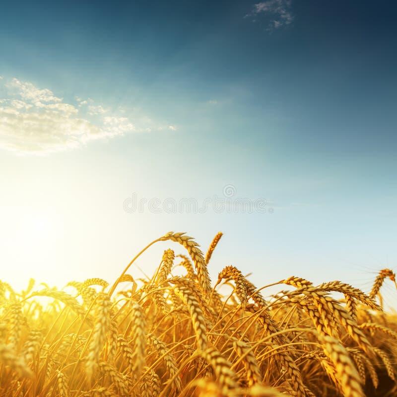 Gouden oogst op zonsondergang stock afbeelding