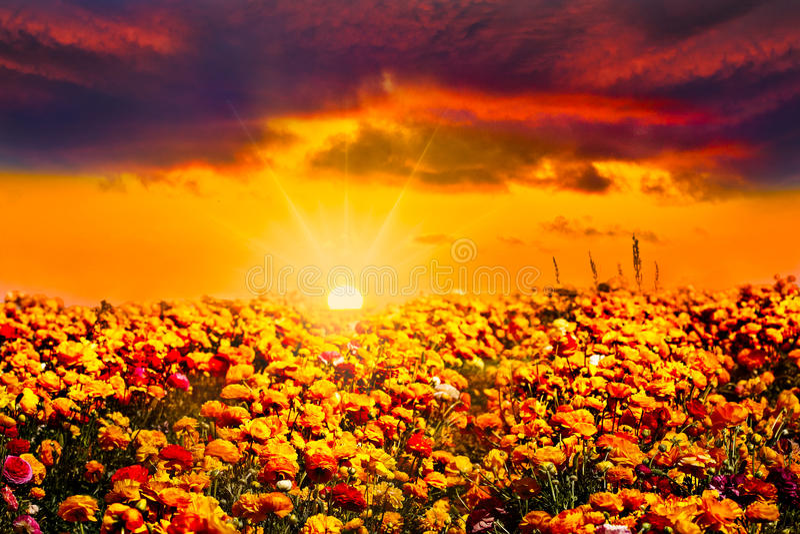 Gouden Oranje Blauw Zonsondergangranunculus Bloemgebied royalty-vrije stock foto