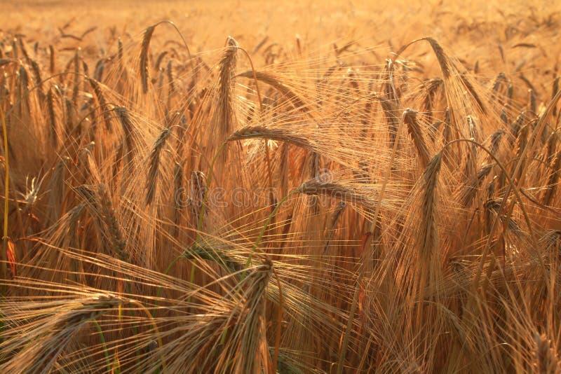 Gouden oren van tarwe op gebied stock fotografie