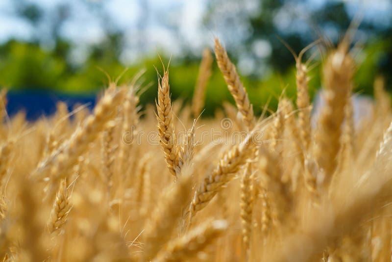 Gouden oren van tarwe op het gebied Natuurlijk beeld stock foto