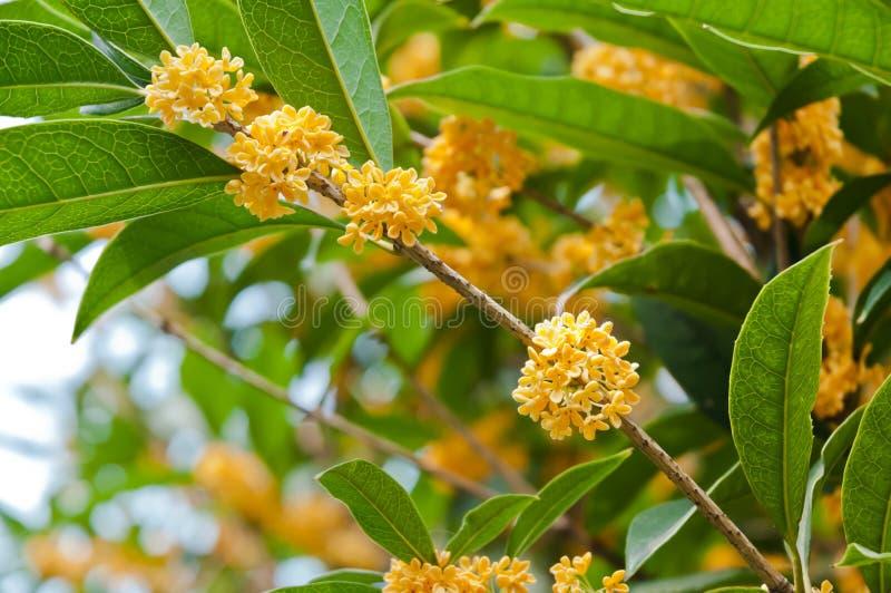 Gouden osmanthusbloemen in volledige bloei royalty-vrije stock fotografie