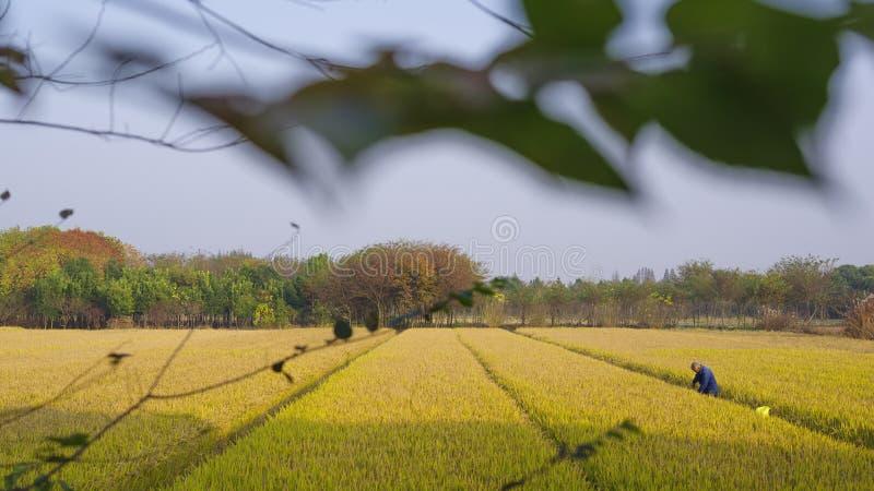 Gouden padievelden in de herfst stock afbeeldingen