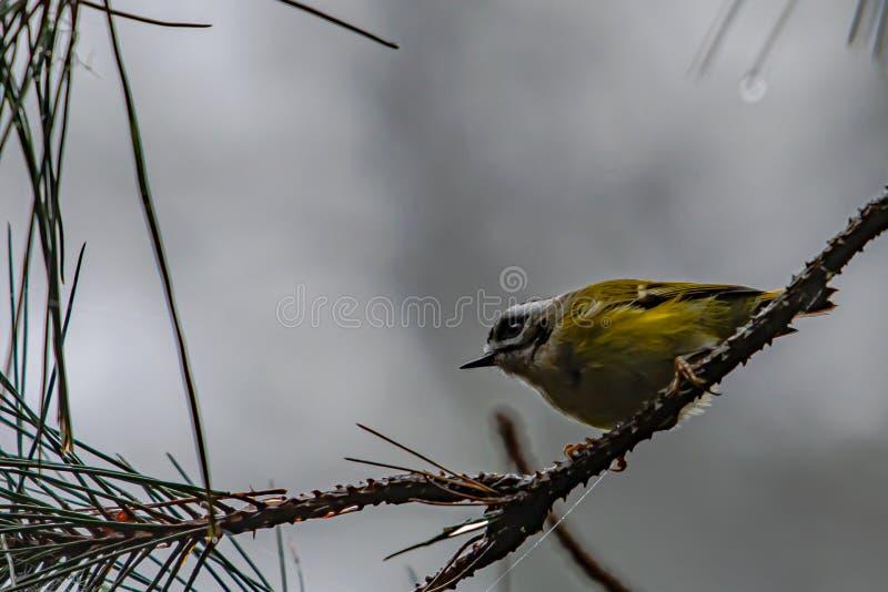 Gouden papegaai onzichtbare wildernis royalty-vrije stock fotografie