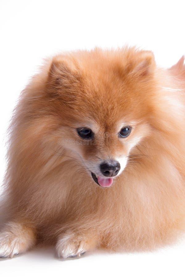 Gouden Pomeranian-puppyportret van gelukkig die huisdier op een witte achtergrond wordt geschoten royalty-vrije stock afbeelding