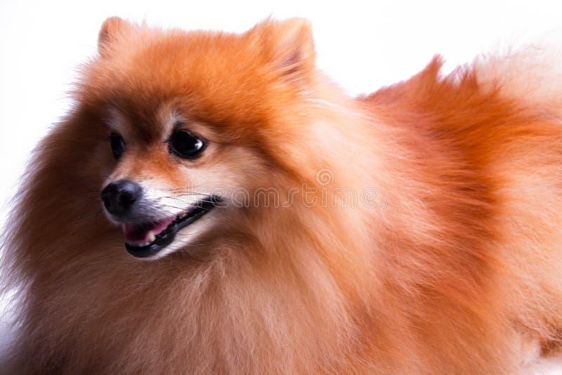 Gouden Pomeranian-puppyportret van gelukkig huisdier stock fotografie
