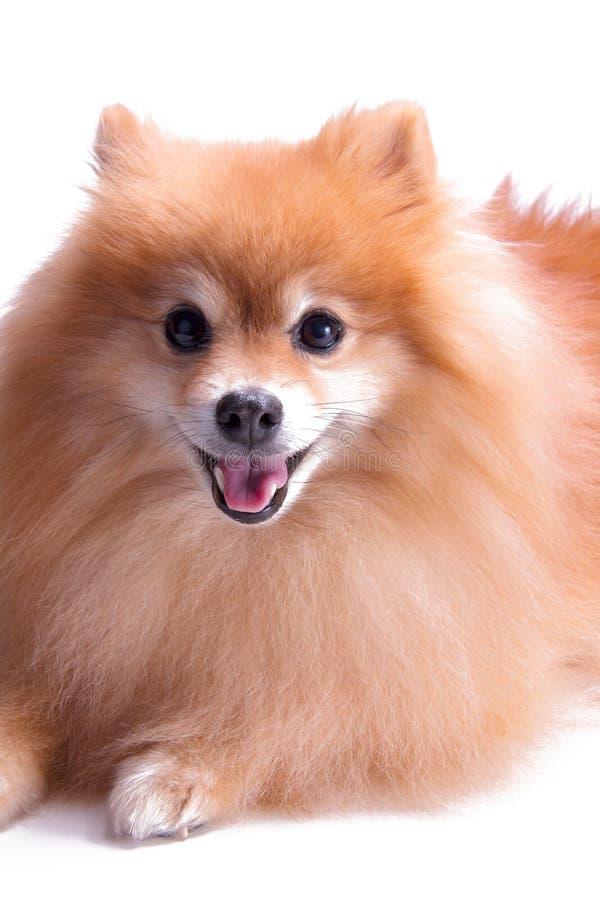 Gouden Pomeranian-puppyportret van opgewekt huisdier stock foto's