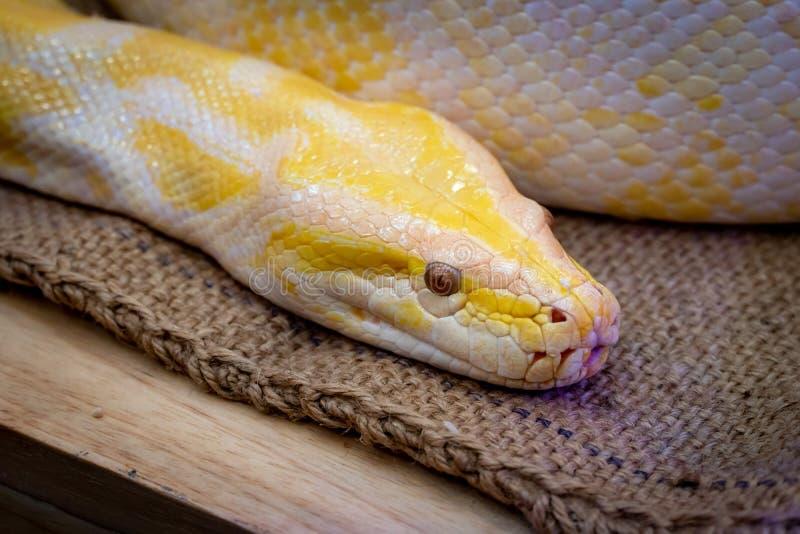 Gouden Python, python Met een netvormig patroon royalty-vrije stock foto